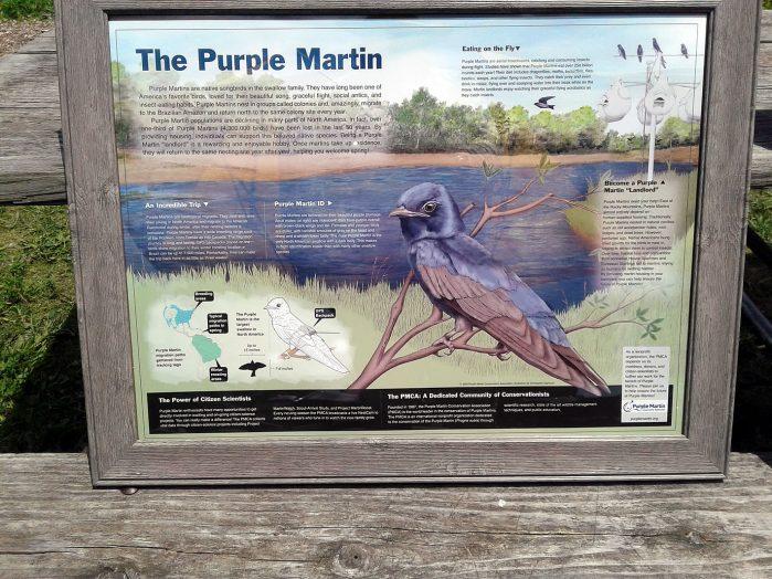 Purple Martin Highlights