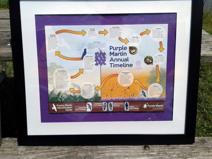 Purple Martin Migration